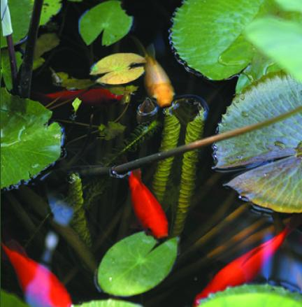 Pond fish and pond supplies tetra pond premium fish for Fish and pets unlimited